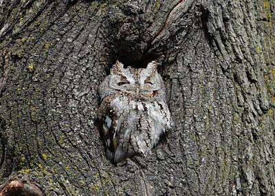 Invincible Screech Owl Art Print by Stephen Flint