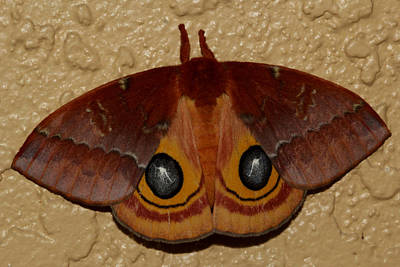 Photograph - Io Moth by April Wietrecki Green