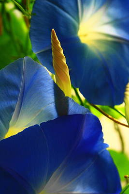 Photograph - Ipomoea, Rising Sun Behind by Steven A Bash