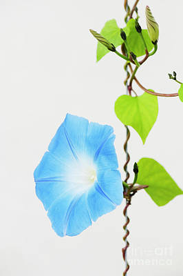 Annual Photograph - Ipomoea Tricolor Heavenly Blue by Tim Gainey