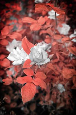 Ir Rose  Art Print