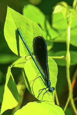Photograph - Iridescent Green And Blue Dragonfly by Jeff at JSJ Photography