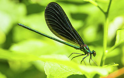 Photograph - Iridescent Green And Blue Dragonfly Profile by Jeff at JSJ Photography