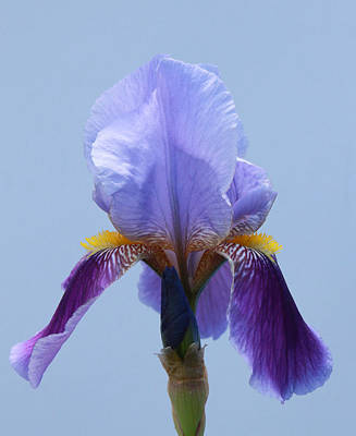 Photograph - Iris 17 by Allen Beatty