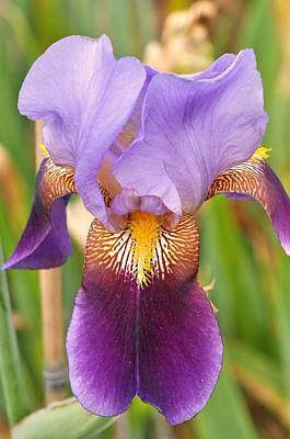 Photograph - Iris 19 by Allen Beatty