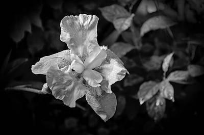 Photograph - Iris   2 Bw  by Susan  McMenamin