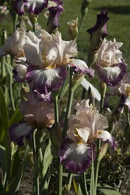Photograph - Iris 3 by Sara Stevenson