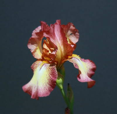 Photograph - Iris 34 by Allen Beatty