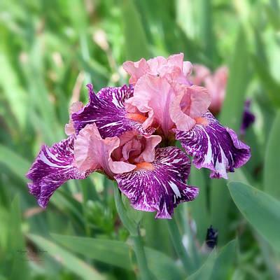 Photograph - Iris 4 by Jim Thompson