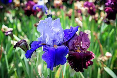 Photograph - Iris 5 by Jim Thompson