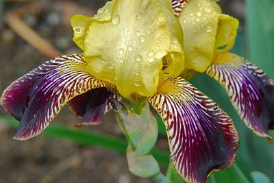Photograph - Iris 8 by Allen Beatty