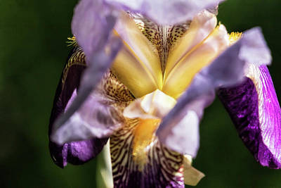 Photograph - Iris Abstract, No. 2 by Belinda Greb