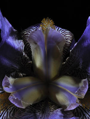 Iris Aglow Art Print