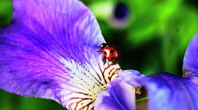 Irises Digital Art - Iris And Ladybug by Nat Air Craft
