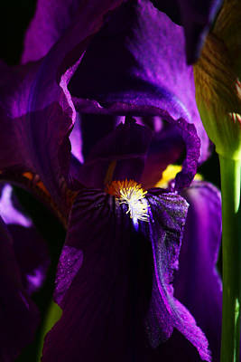 Photograph - Iris by Anthony Jones