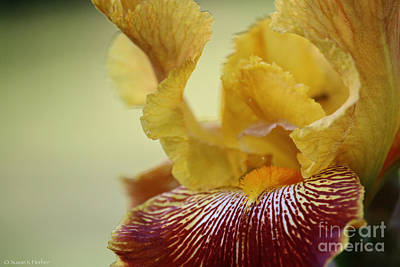 Photograph - Iris Arteries by Susan Herber