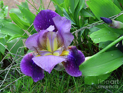 Photograph - Iris At Dawn II by Alys Caviness-Gober