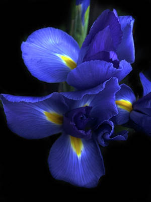 Photograph - Iris At Dusk by Jessica Jenney