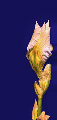 Photograph - Iris Beginning To Bloom #g0 by Leif Sohlman