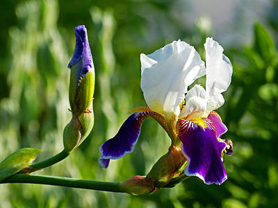 Photograph - Iris by Bill Jordan