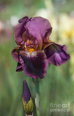 Photograph - Iris 'black Ruby' by Ann Jacobson
