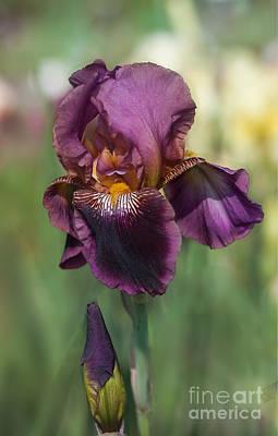 Iris 'black Ruby' Art Print