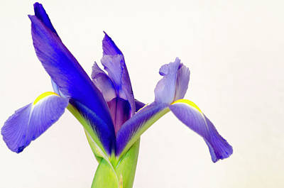Photograph - Iris Bloom by Steven Brodhecker