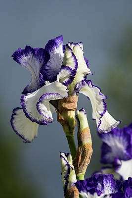 Photograph - Iris Blue And White by Robert Potts