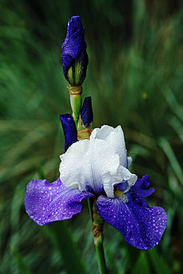 Photograph - Iris Blues by Debbie Oppermann