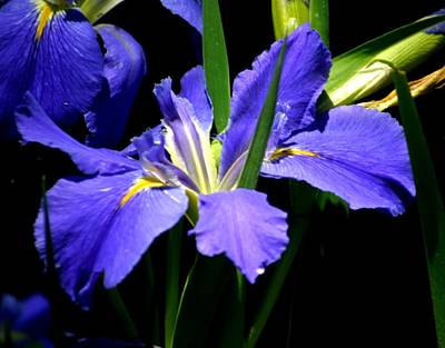 Photograph - Iris Blues Spring Awakening In New Orleans by Michael Hoard