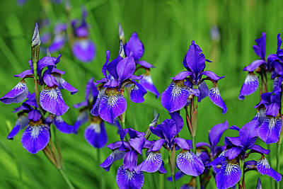 Photograph - Iris Bouquet by Debbie Oppermann