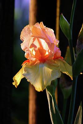 Photograph - Iris Catching The Sun 6768 H_2 by Steven Ward