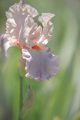 Photograph - Iris Celebration Song 2. The Beauty Of Irises by Jenny Rainbow