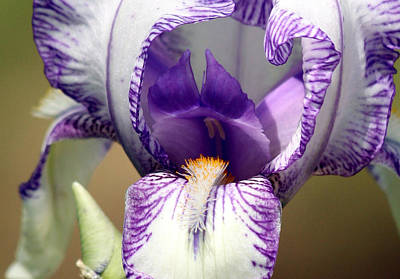 Art Print featuring the photograph Iris Close-up by Sheila Brown