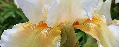 Photograph - Iris Closeup by Bruce Bley