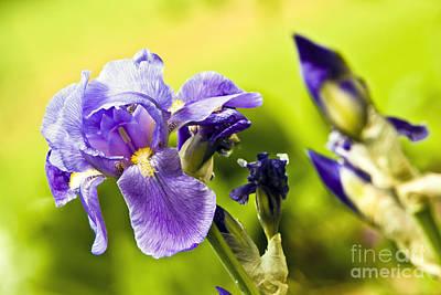 Caravaggio - Iris croatica by Dan Radi