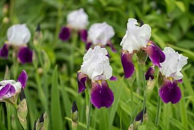 Photograph - Iris' by Deb Buchanan