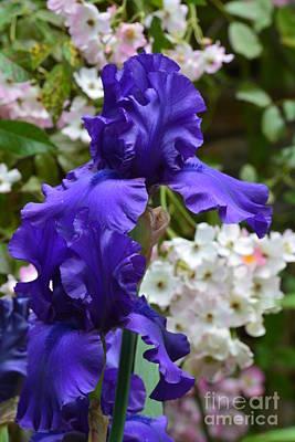 Photograph - Iris Elegance 16-01 by Maria Urso