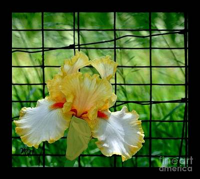 Photograph - Iris Fenced In by Marsha Heiken