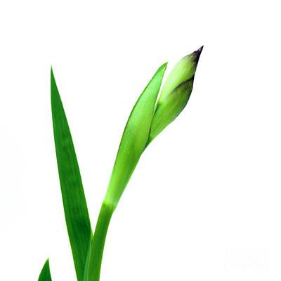 Green Color Photograph - Iris Flower And Bud by Bernard Jaubert