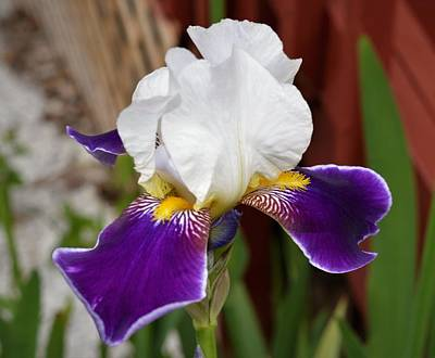 Photograph - Iris Flower by Charles HALL