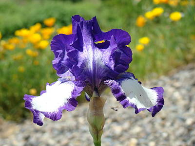 Iris Flower Purple White Irises Nature Landscape Giclee Art Prints Baslee Troutman Art Print by Baslee Troutman