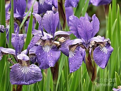 Photograph - Iris Garden by Janice Drew