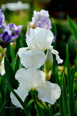 Photograph - Iris/germanica Immortality by Kae Cheatham