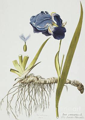 Blue Iris Painting - Iris Germanica by Joseph Jacob Plenck