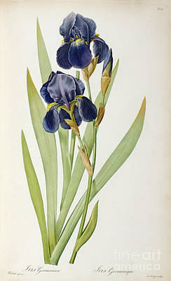 Engraving Painting - Iris Germanica by Pierre Joseph Redoute