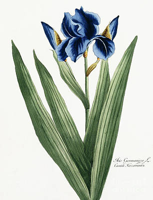Irises Drawing - Iris Germanica by Russian School