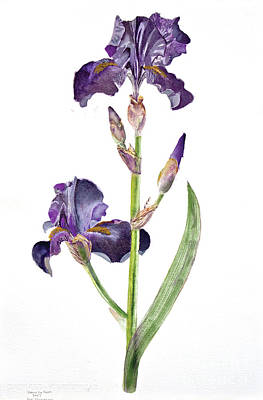 Painting - Iris Germanica Species 1 by Dianne Green