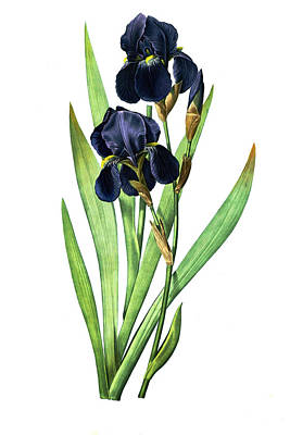 Photograph - Iris Germanica by Tom Prendergast