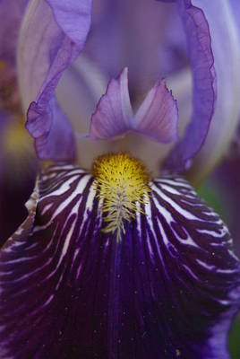 Iris Art Print by Heidi Poulin